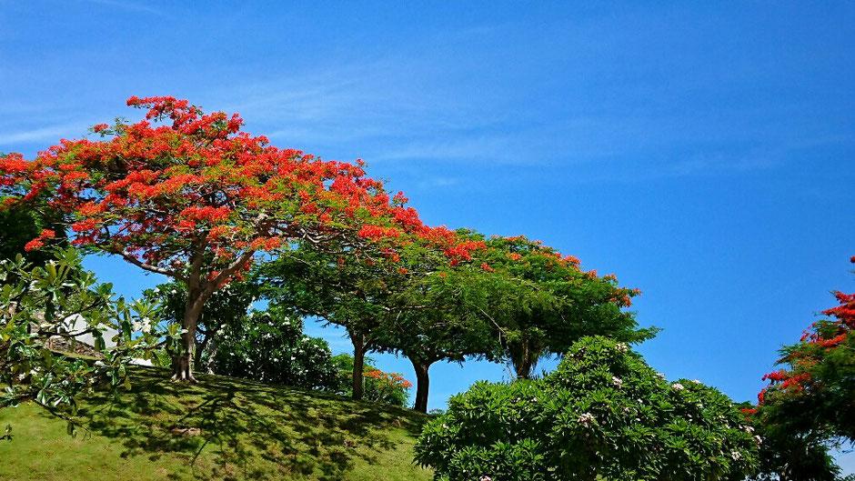 Vung Tau - niemals Winter – Ly und Heiko vom Viethouse in Vietnam - der Flammenbaum - Hoa Phượng vĩ in vietnamesischer Sprache - gehört zum Stadtbild von Vung Tau – leuchtend kräftig rote Farbe und blauer Himmel