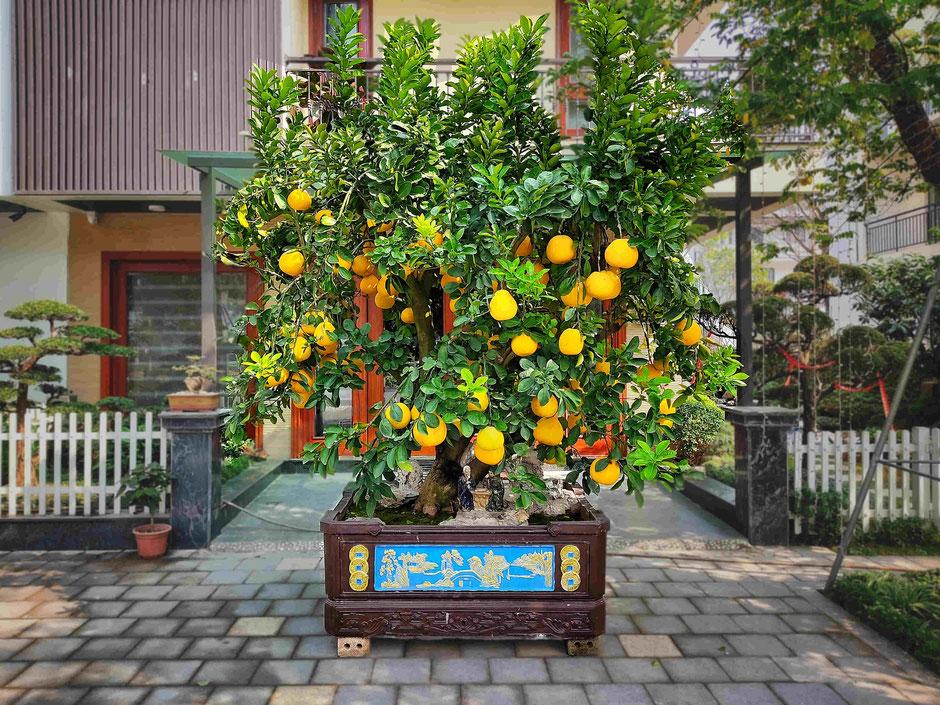 TET-Vietnam-Neujahrsfest-Pampelmuse-Grapefruit-Pomelo-Baum-Leihbaum-Mietbaum-Vorgarten-Reienhaus-Einfamilienhaus