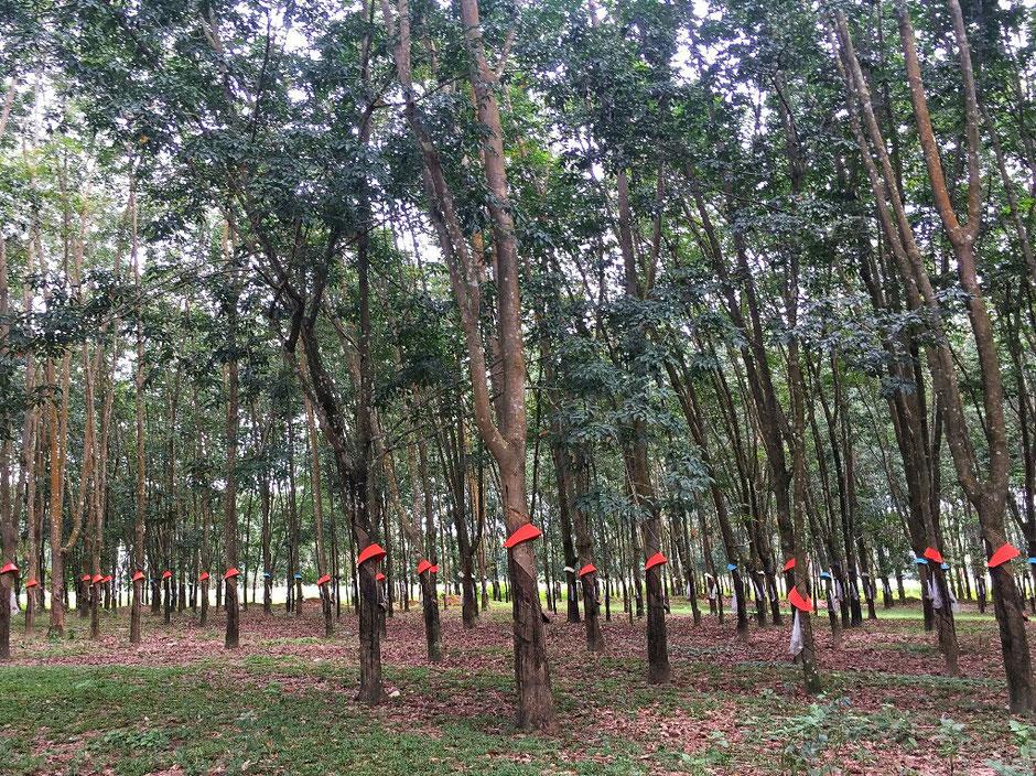 Erkundungstour - zentrales Hochland  - Vietnam – Erkundungstour – Ly und Heiko – Viethouse – Kautschuk - Bäume - Plantage – rote Bandagen