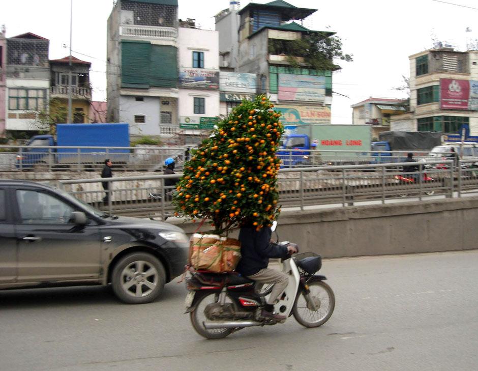 TET-Fest-Vorbereitung-in-Vietnam-Transport auf Moped-Mandarinbaum