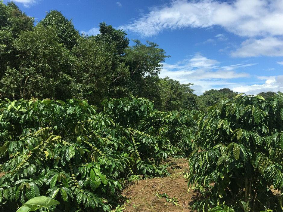 Erkundungstour - zentrales Hochland  - Vietnam – Erkundungstour – Ly und Heiko – Viethouse – Kaffeesträucher – Plantage