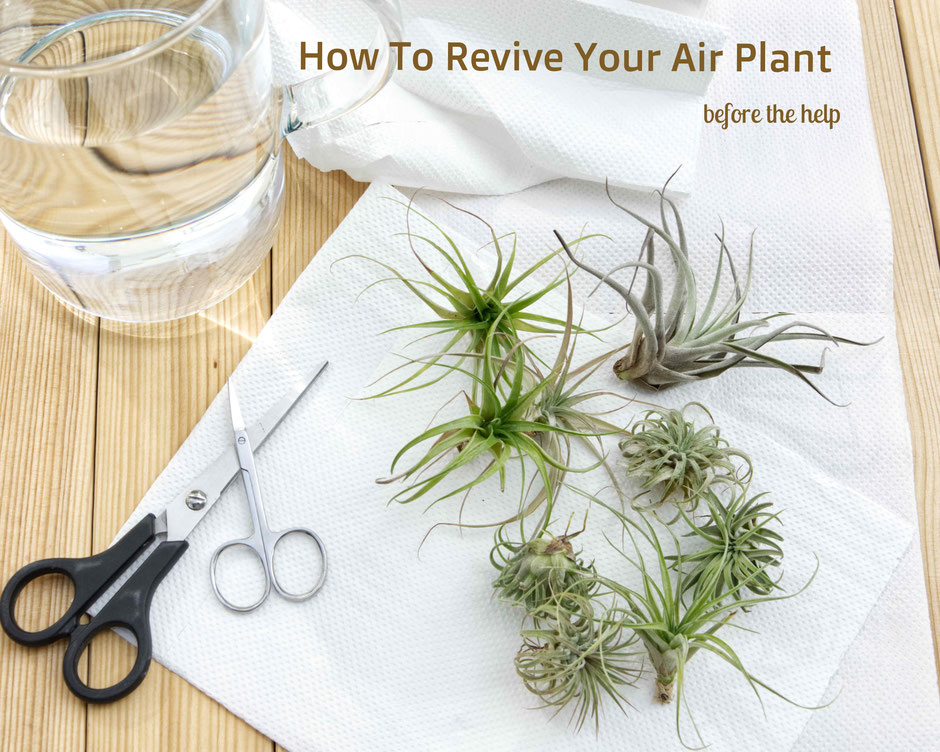 How To Revive Air Plants, from watering to trimming by PASiNGA blog