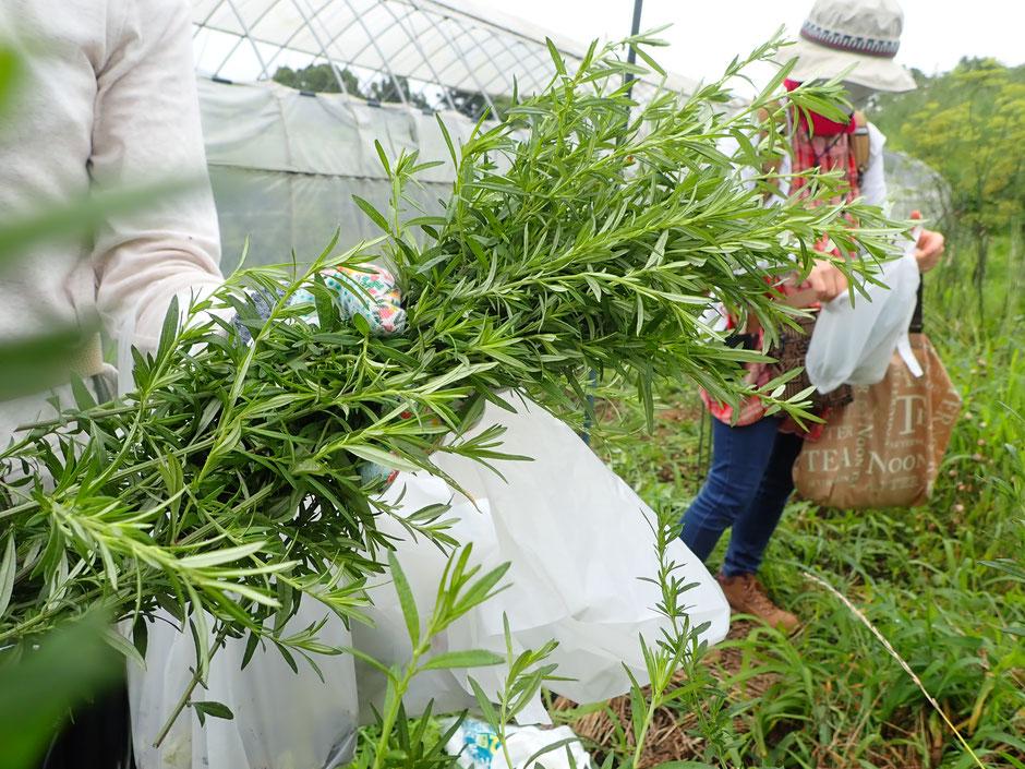真夏のヨモギは先端の新鮮な部分を使います。夏の冷房冷えの対策にも有効です。すどう農園のハーブ農園にて