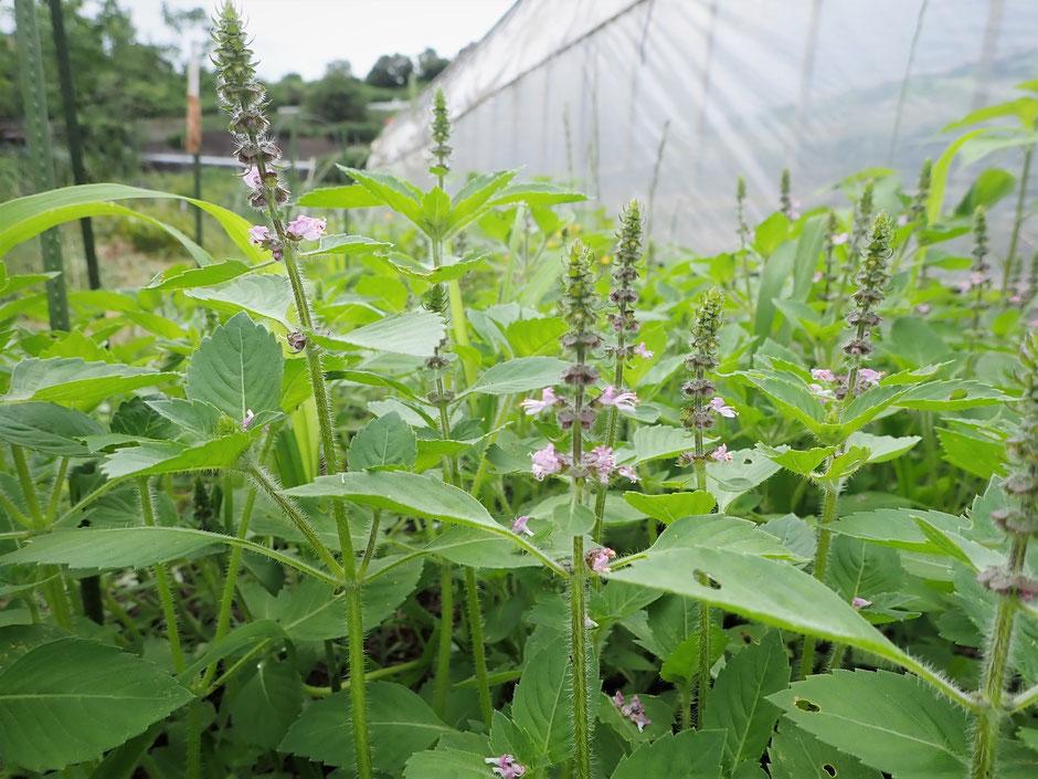 ホーリーバジル無農薬(トゥルシー)のフレッシュな花と葉の通販。季節限定です@すどう農園