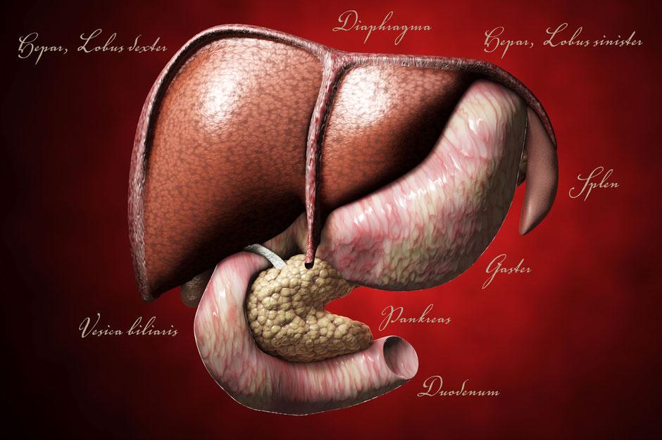 3D-Visualisierung der inneren Organe