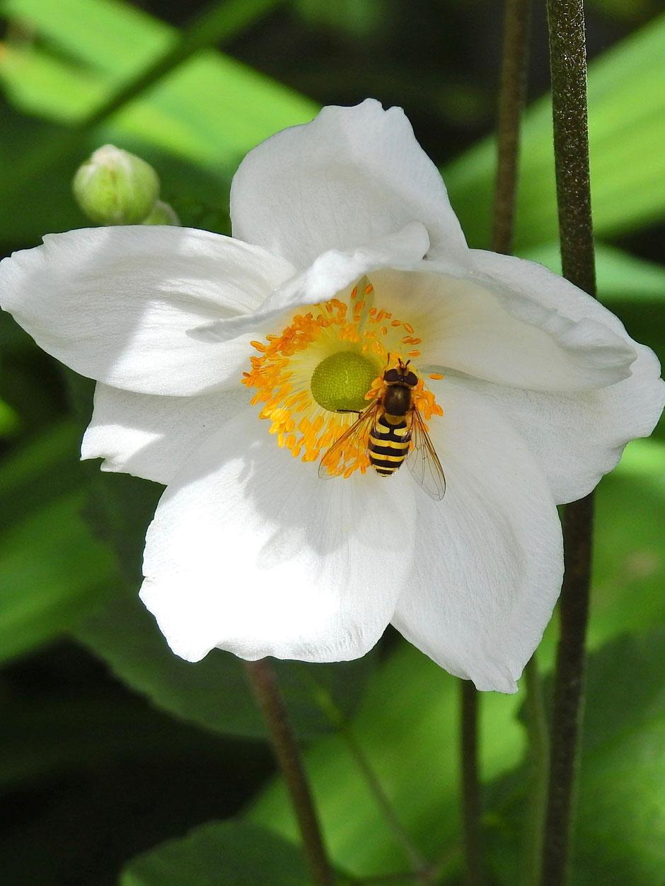 Garten-Schwebfliege - Stahfleeg - Syrphus ribesii  Sabine Rümenap wildes Ostfriesland