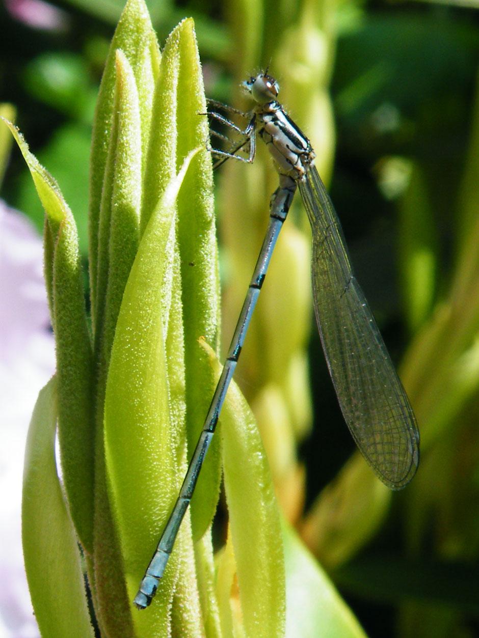 Blaue Federlibelle  Platycnemis pennipes  White-legged damselfly Sabine Rümenap Wildes Ostfriesland Tiere