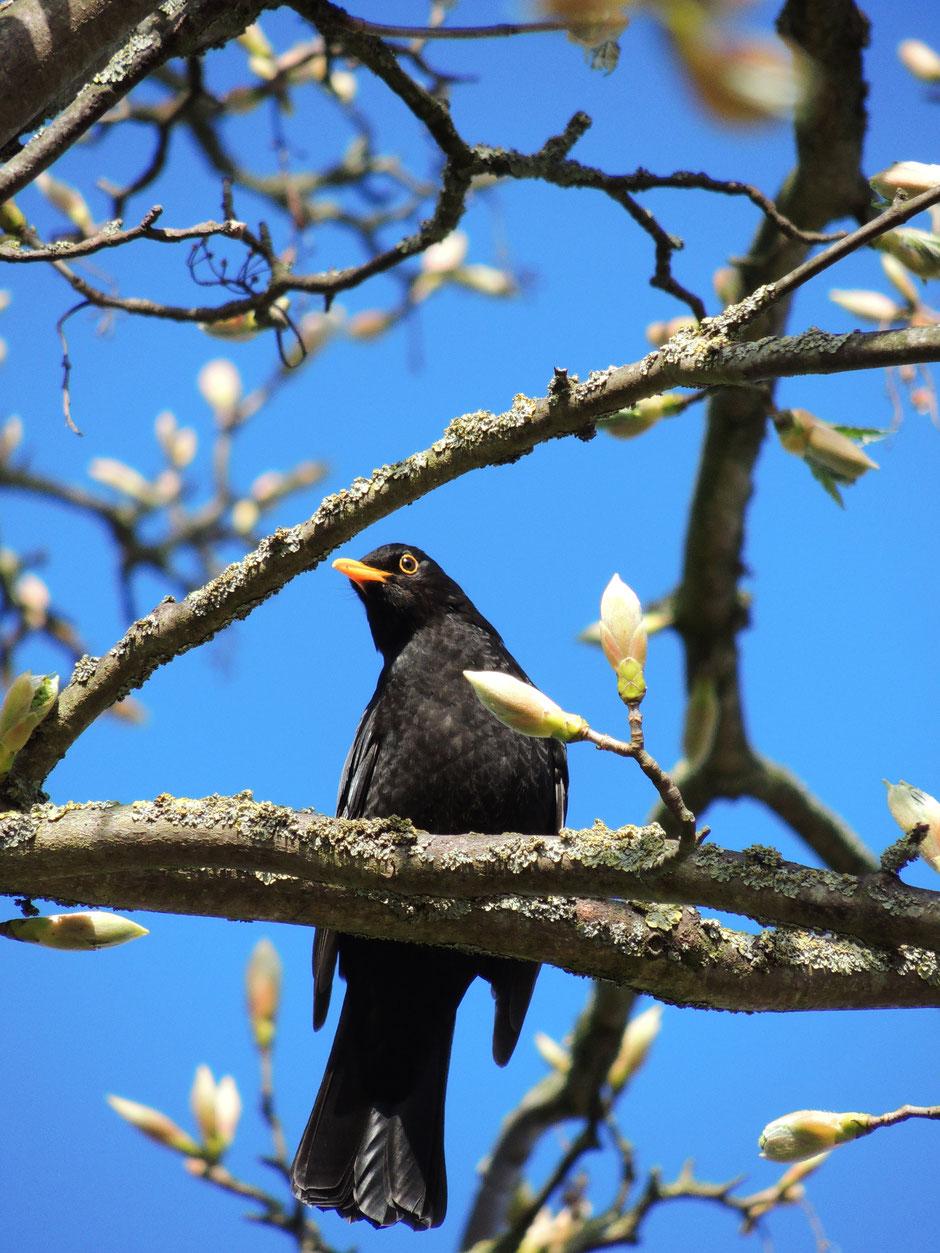 Amsel - Swaartdrussel -Turdus merula - Blackbird wildes Ostfriesland Sabine Rümenap Vögel