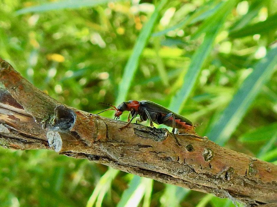 Gemeiner Weichkäfer Cantharis fusca   Soldier Beetle Sabine Rümenap wildes Ostfriesland