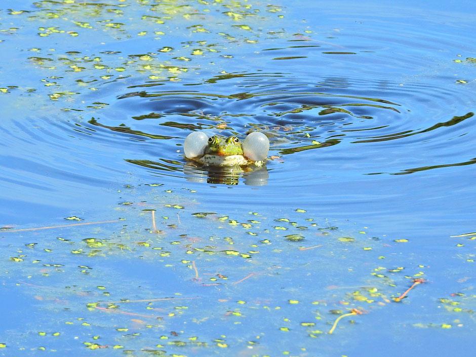 Teichfrosch  Pelophylax kl. esculentus  Edible frog Sabine Rümenap Wildes Ostfriesland
