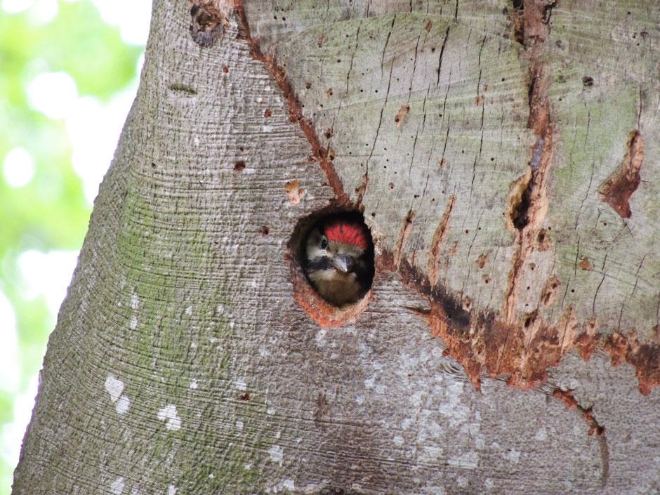 Buntspecht Dendrocopos major Great spotted woodpecker wildes Ostfriesland Sabine Rümenap