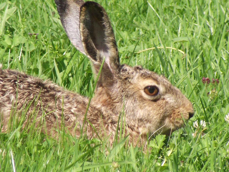 Feldhase Lepus europaeus European hare Sabine Rümenap Wildes Ostfriesland Tiere