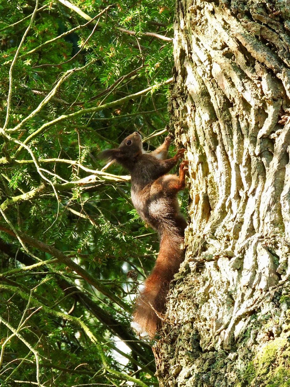 Eichhörnchen  Eckelkatt  Sciurus vulgaris  Red squirrel Sabine Rümenap wildes Ostfriesland