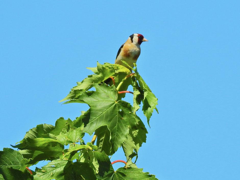 Stieglitz Carduelis carduelis Goldfinch Sabine Rümenap wildes Ostfriesland Vögel