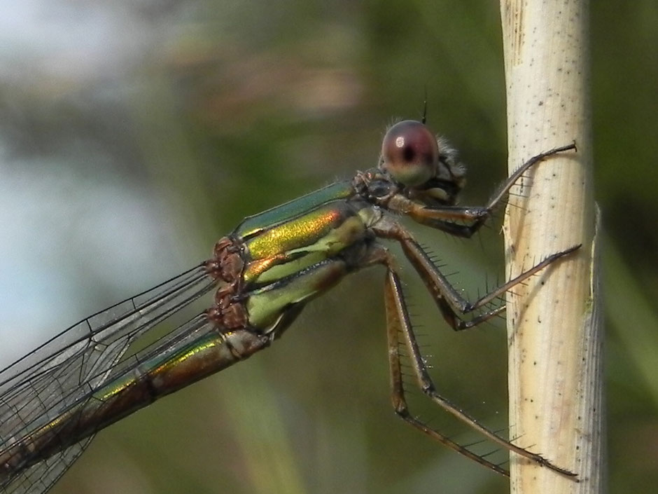 Weidenjungfer - Chalcolestes virides - Willow emerald damselfly Sabine Rümenap Wildes Ostfriesland Tiere