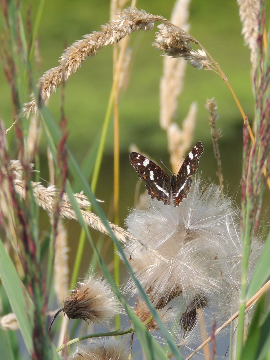 Landkärtchen  - Araschnia levana  Map Butterfly Sabine Rümenap wildes Ostfriesland