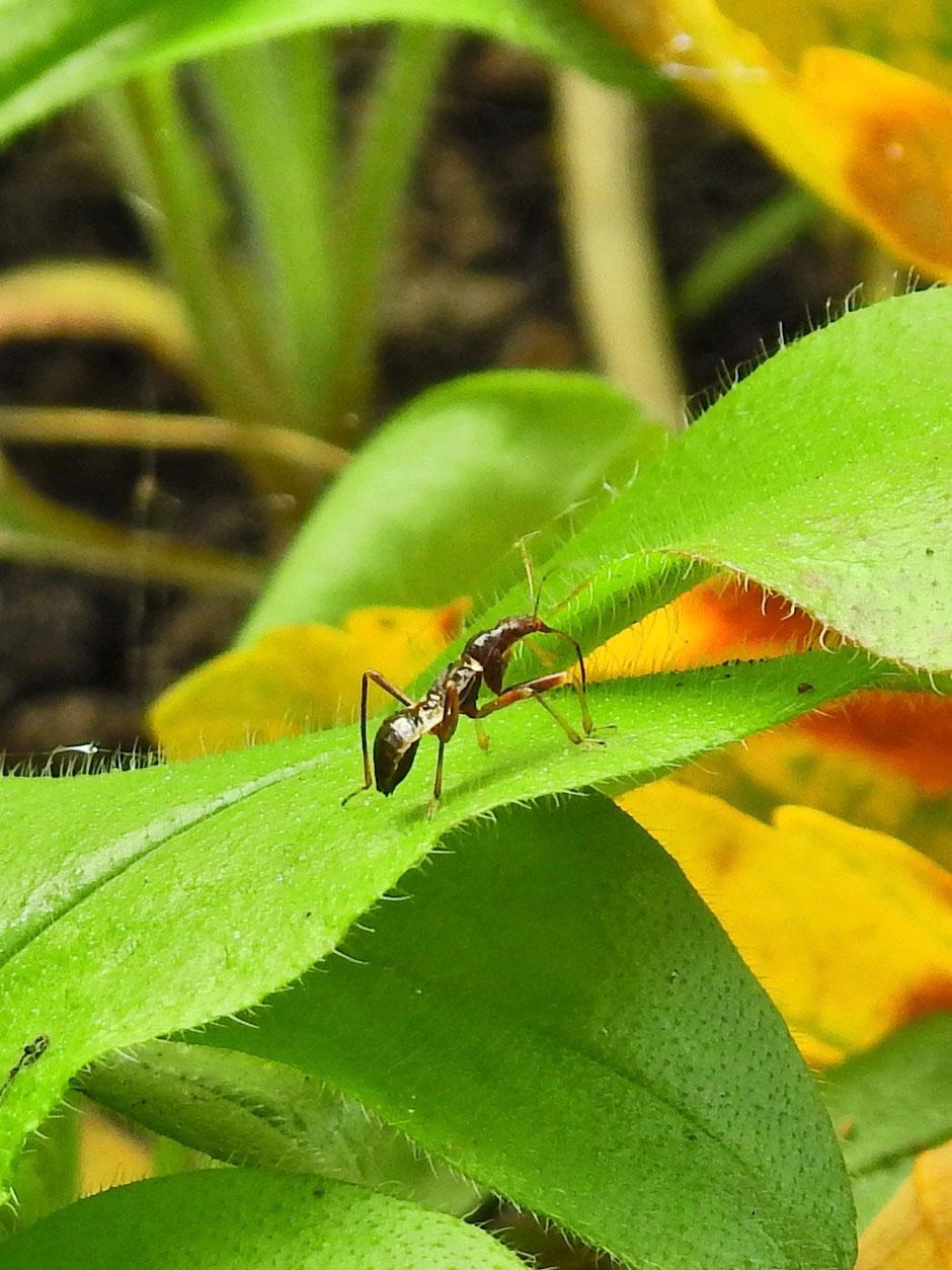 Ameisensichelwanze - Himacerus mirmicoides - ant damsel bug - Sabine Rümenap - wildes Ostfriesland