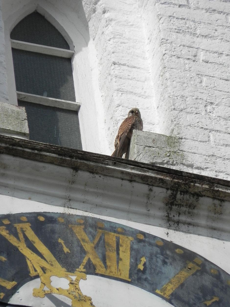 Turmfalke - Falco tinnunculus - Common kestrel Sabine Rümenap Wildes Ostfriesland Tiere