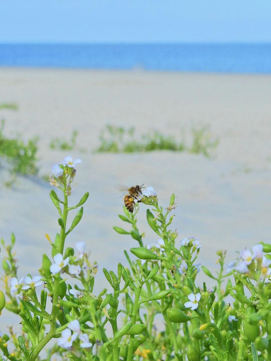 Honigbiene  Apis mellifera  Honey bee Sabine Rümenap Wildes Ostfriesland Tiere Insekten