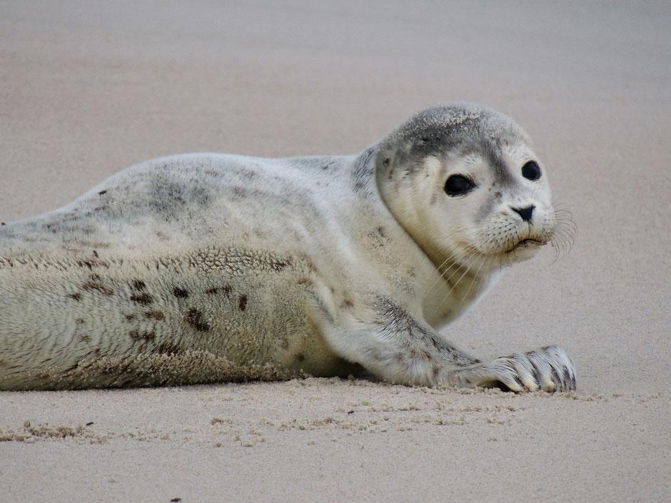 Seehund Phoca vitulina, Common seal, Sabine Rümenap Wildes Ostfriesland Tiere