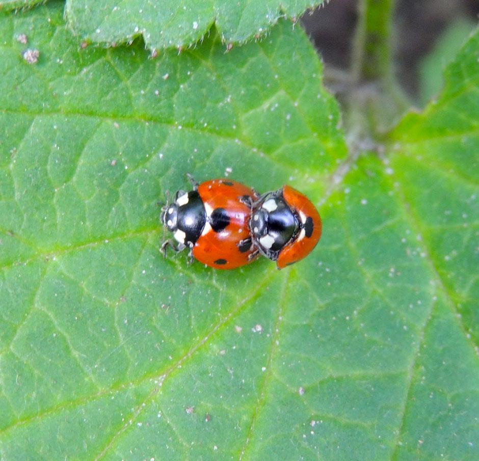 Marienkäfer Coccinellidae Ladybug Sabine Rümenap Wildes Ostfriesland Tiere