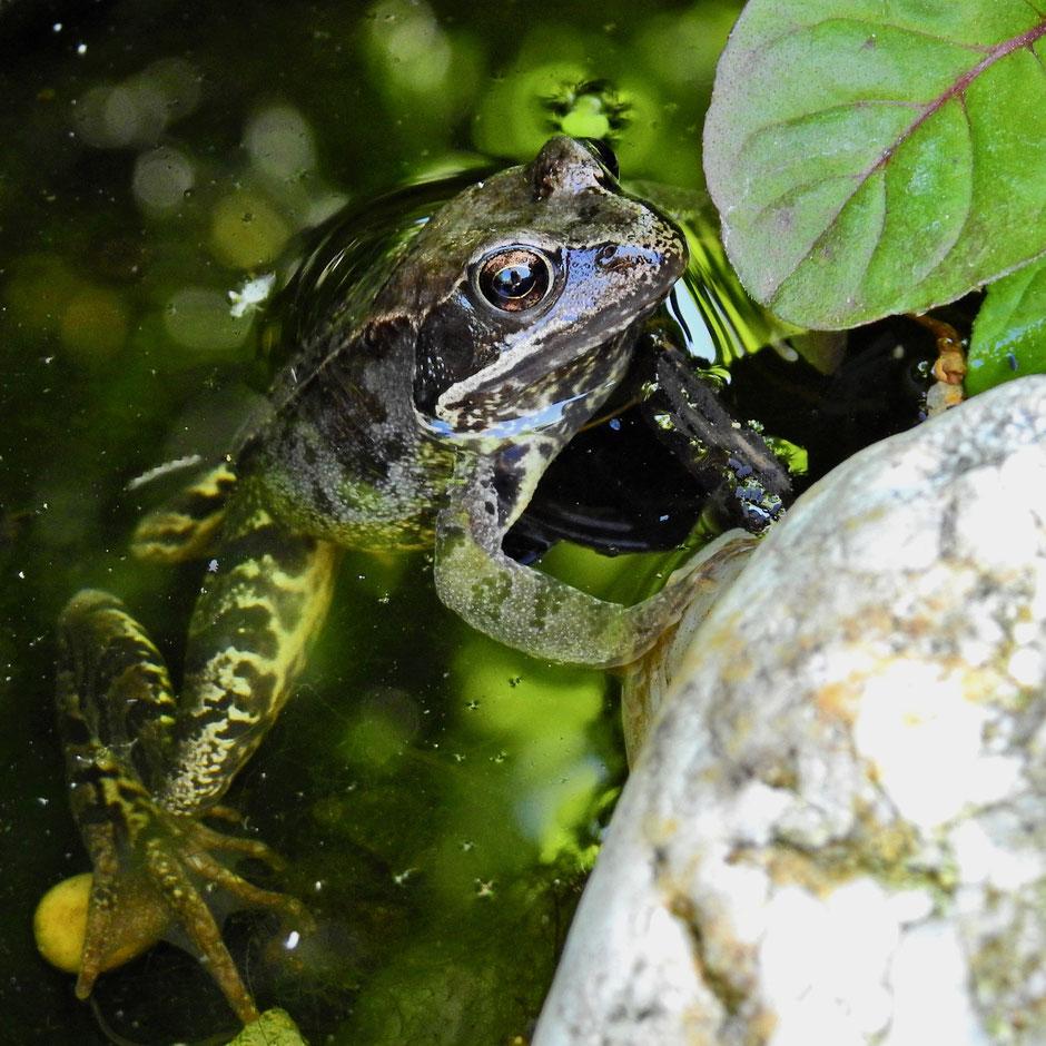 Grasfrosch - Määrtpogg - Rana temporaria - Common frog - Sabine Rümenap wildes Ostfriesland Tiere