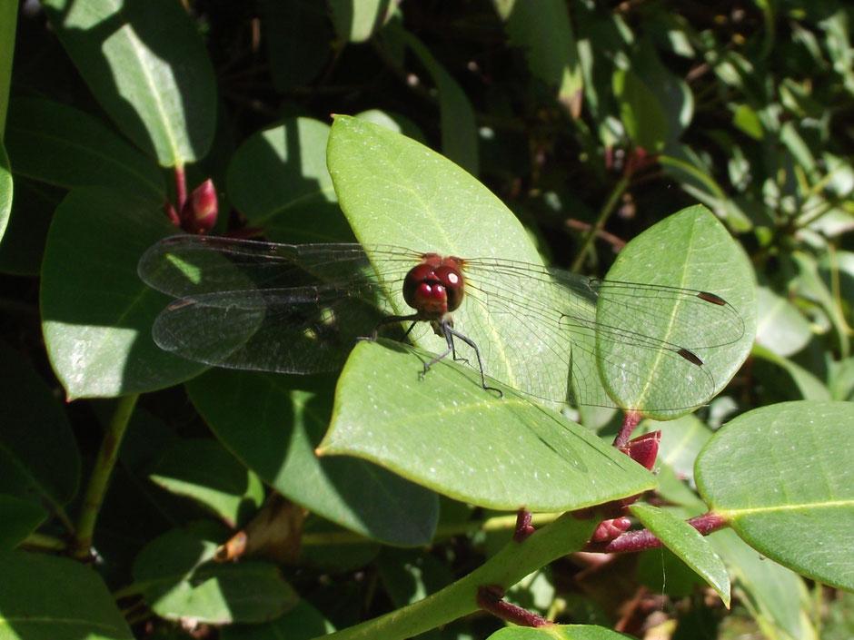 Blutrote Heidelibelle Sympetrum sanguineum  Ruddy darter Sabine Rümenap Wildes Ostfriesland Tiere