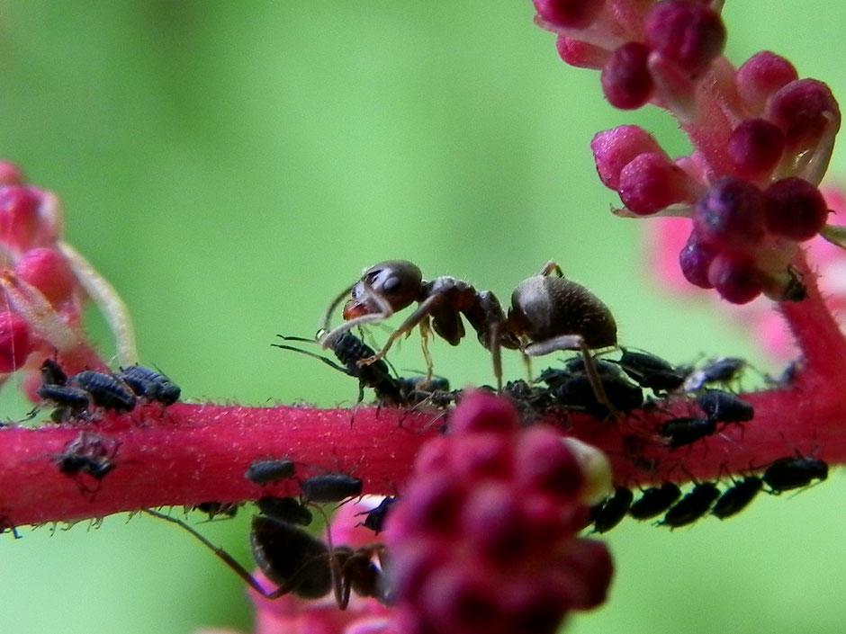 Ameisen - Formicidae - Ants wildes Ostfriesland Sabine Rümenap Insekten