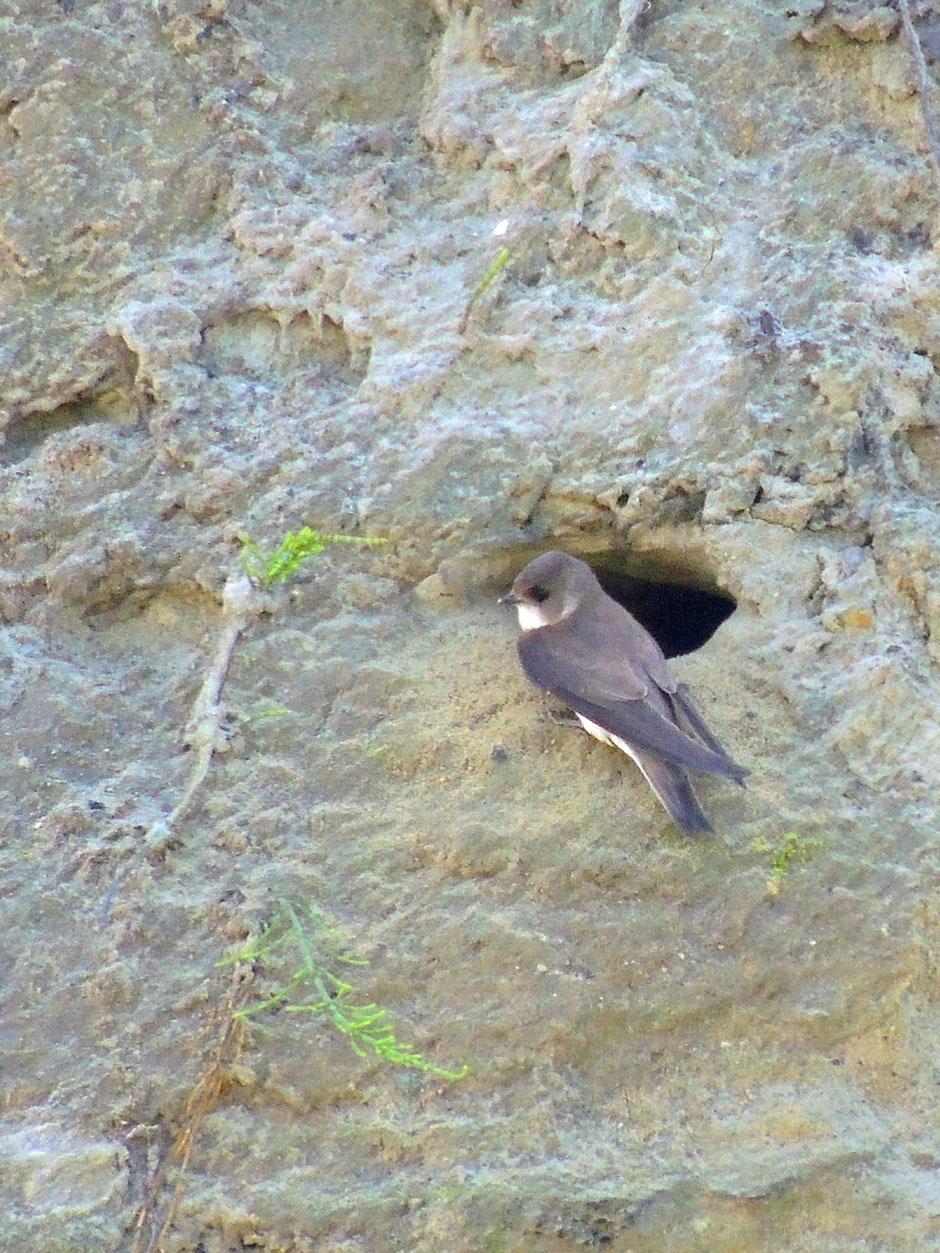 Uferschwalbe - Sandswaalvke - Riparia riparia - Sand martin Sabine Rümenap wildes Ostfriesland Vögel