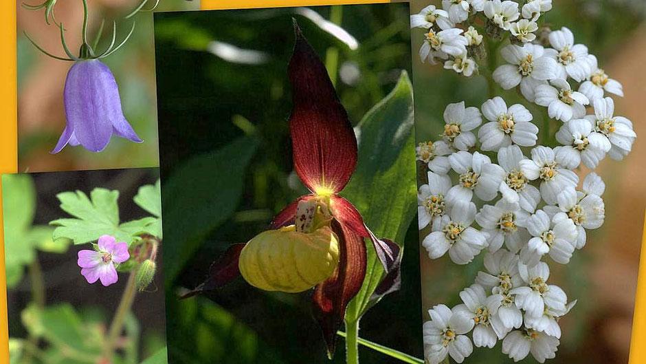 Flore des Cévennes : Campanule, Géranium, sabot de Venus, Achillée millefeuille