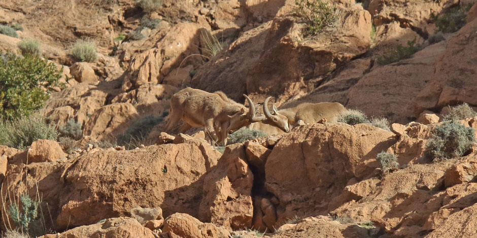 Mähnenschaf oder Mähnenspringer - Barbary Sheep (Ammotragus lervia)