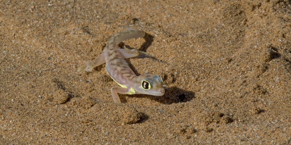 Namib Gecko; Namib Desert Swakopmund July 2017