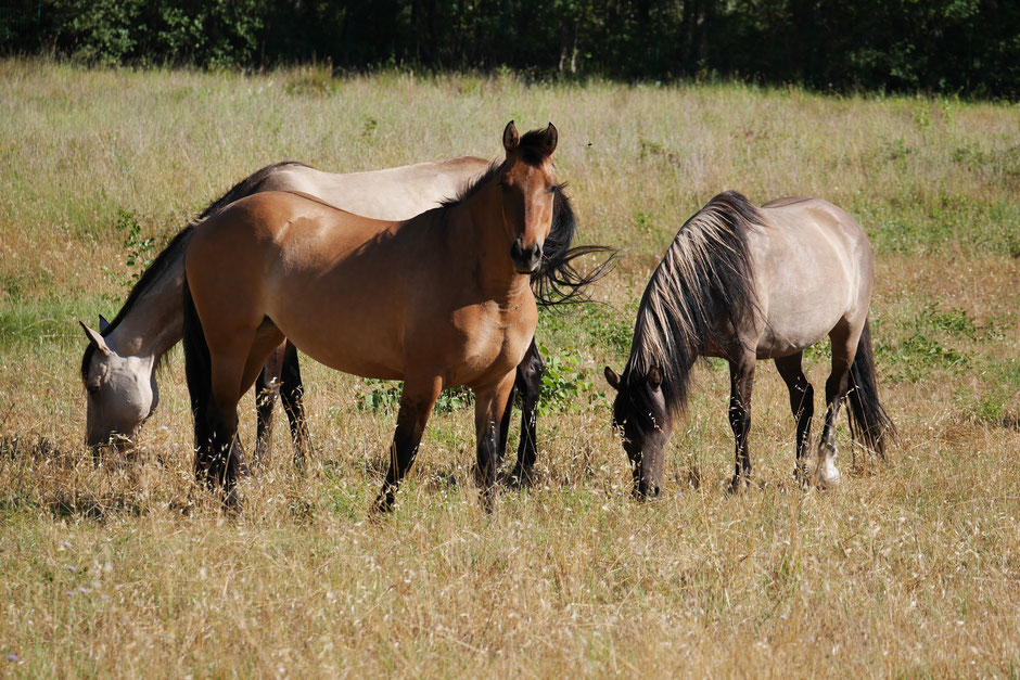 Ojai and two Spanish Mustang mare at MustangWill France - Credit photo MustangWill