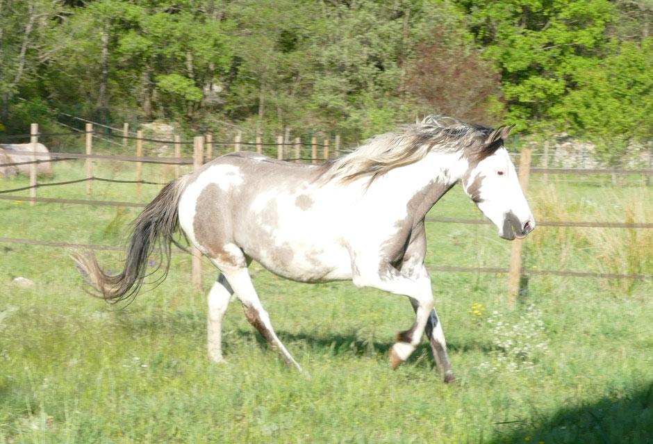 Mystic Moonshadow, Spanish Mustang Medicine Hat chez MustangWill