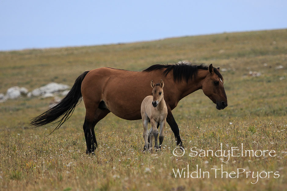 La toute jeune Ojai avec sa mère, dans les montagnes des Pryors du Montana - Credit Photo Sandy Elmore