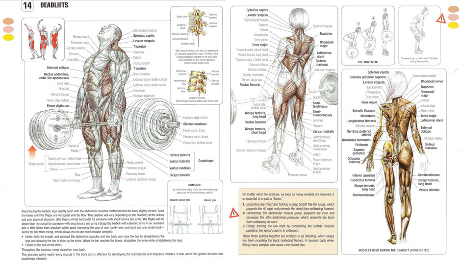 Chapter 14 of Strength Training Anatomyby Frederic Devalier clearly demonstrates the total body workout of the deadlift