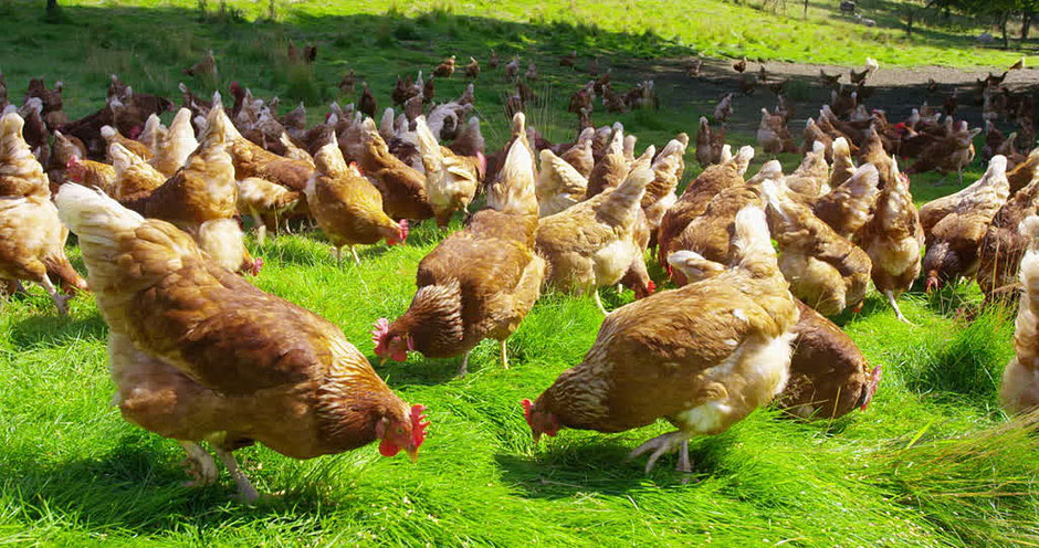 Pastured and organically farmed chickens