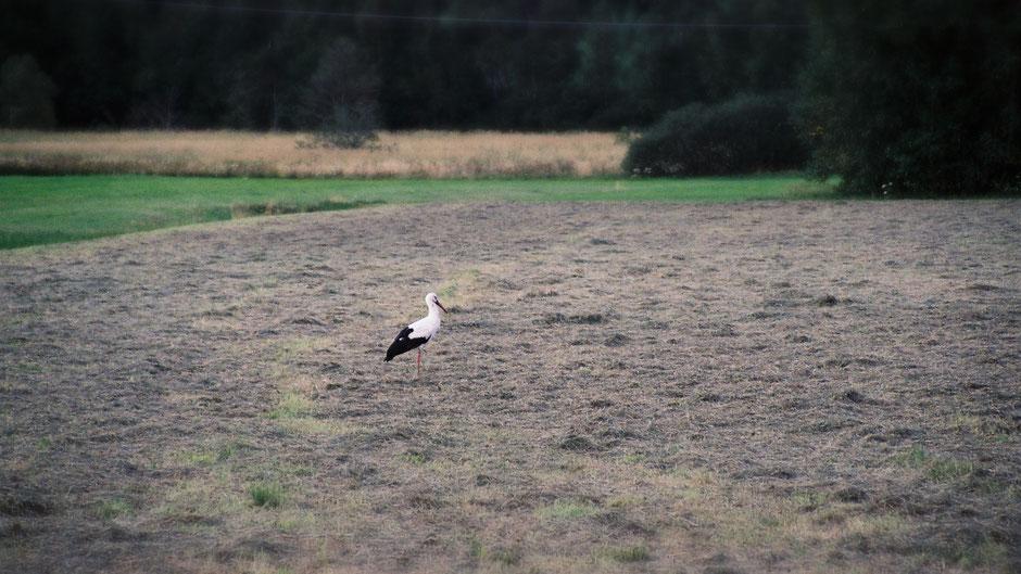 Storch auf Futtersuche vor Weißenstadt