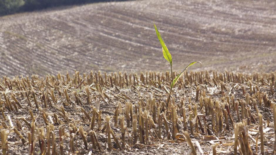 Abgemähtes Maisfeld auf der Leisauer/Geseeser Höher