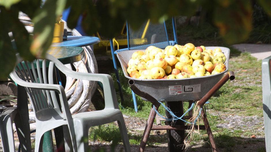 Schubkarre voller Äpfel