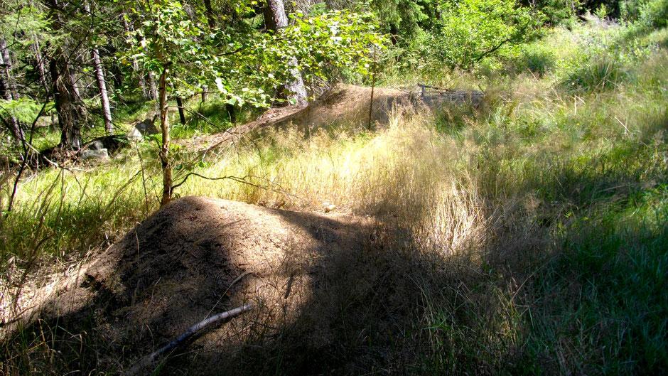 Ameisenhaufen im Nagler Forst
