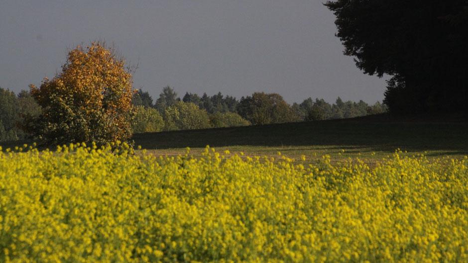 Blühender Senf im Herbst bei Sanspareil
