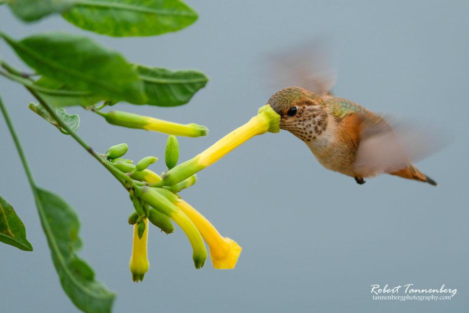 Allenkolibri Sri Lanka gelbe Blüte