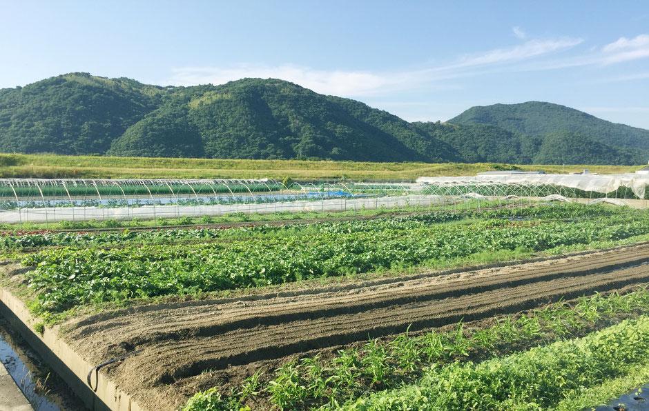 毎日井戸水をたっぷりあげてお野菜を育てています。