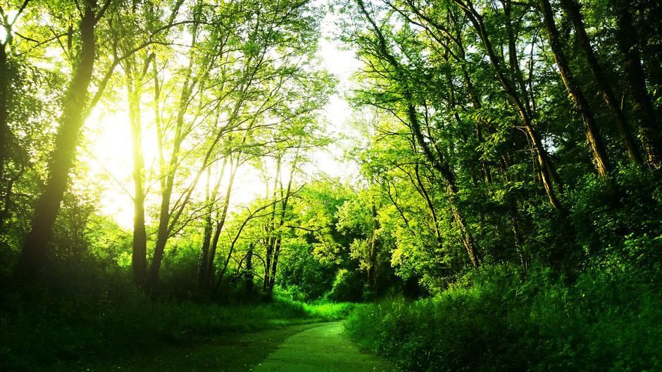 Wald mit Laubbäumen und einem Weg, in zartes grünes Licht getaucht.