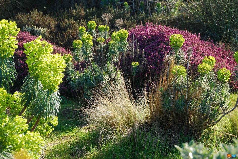 Exemple d'un jardin breton : graminées, euphorbes et bruyères au mois de février