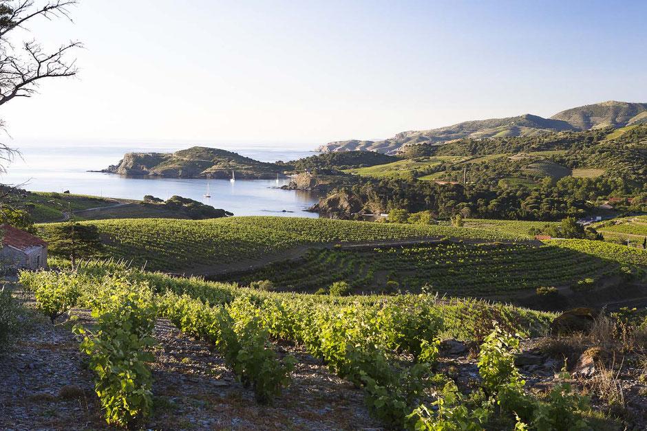 Vue des vignes sur la baie de Paulilles