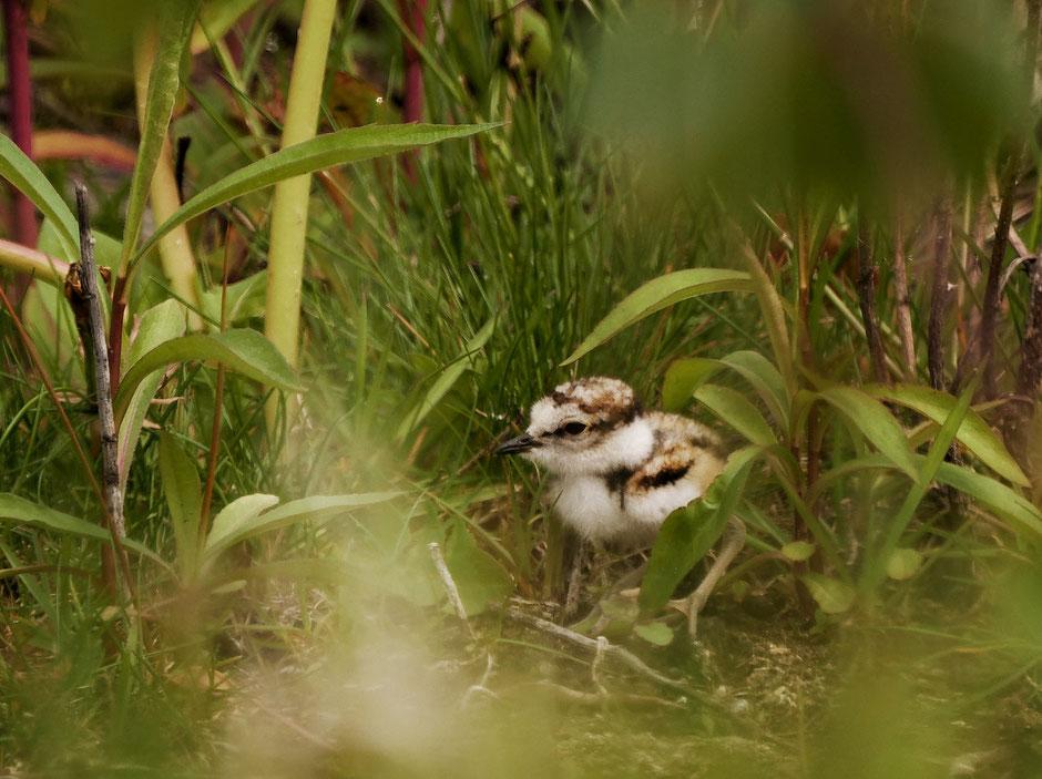 Flussregenpfeiferküken
