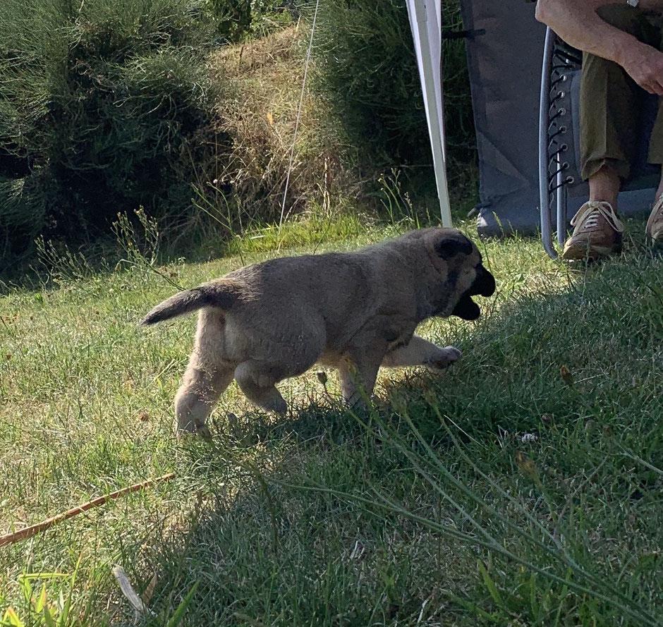 Chiot Bouvier des Ardennes à 4,5 semaines