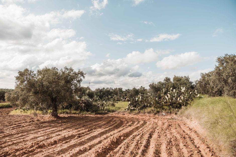 Ölbäume, Ölbaum, Olivenbaum, Olivenöl, Tunesien